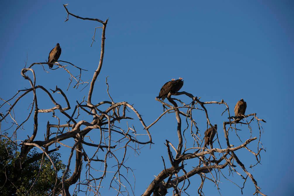 Hooded vultures waiting in a tree to get to the scraps of a