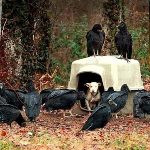vulture dogs