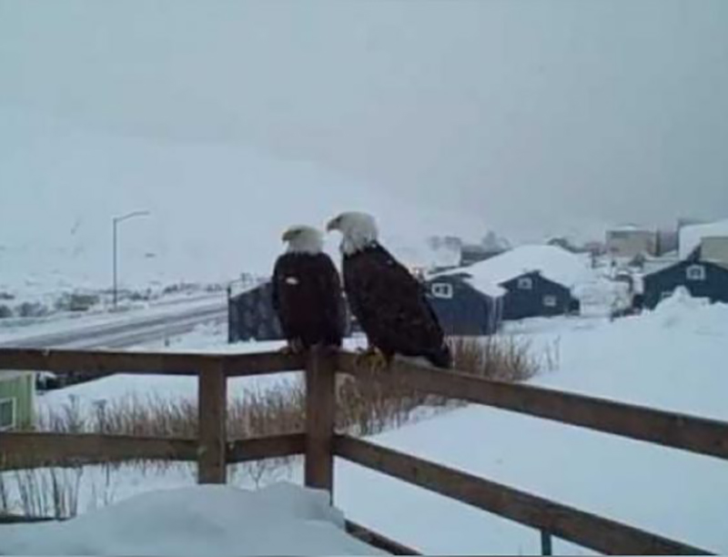 eagles-on-alaska-porch