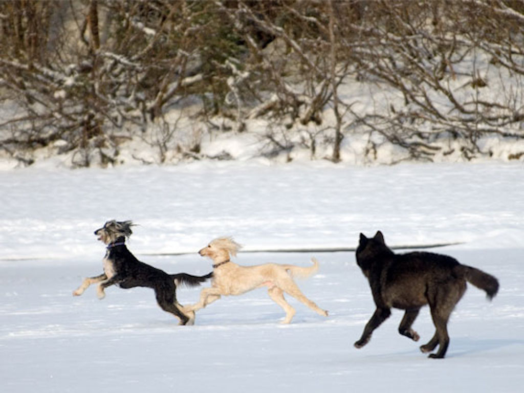 dogs and wolf playing in snow