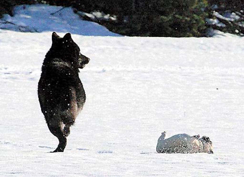 dog and wolf playing in snow