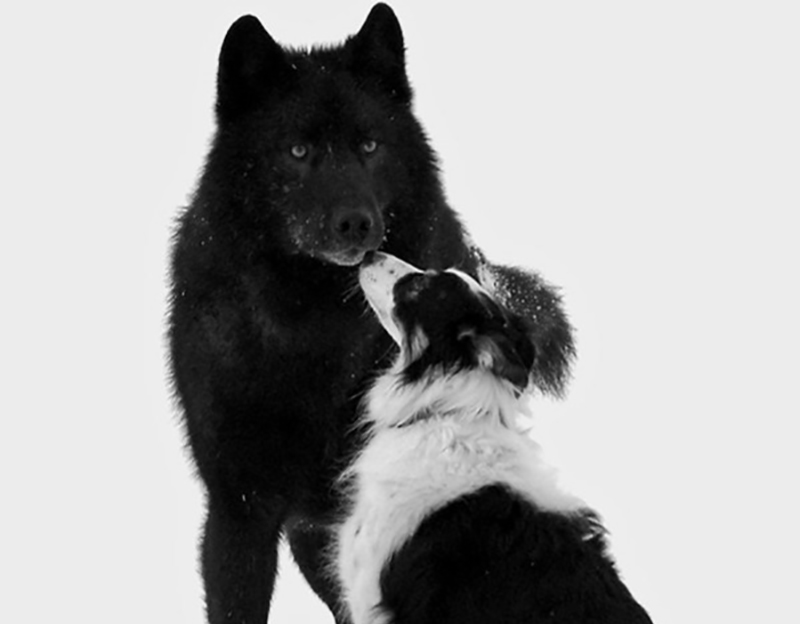 wolf-meets-dog-7-68034