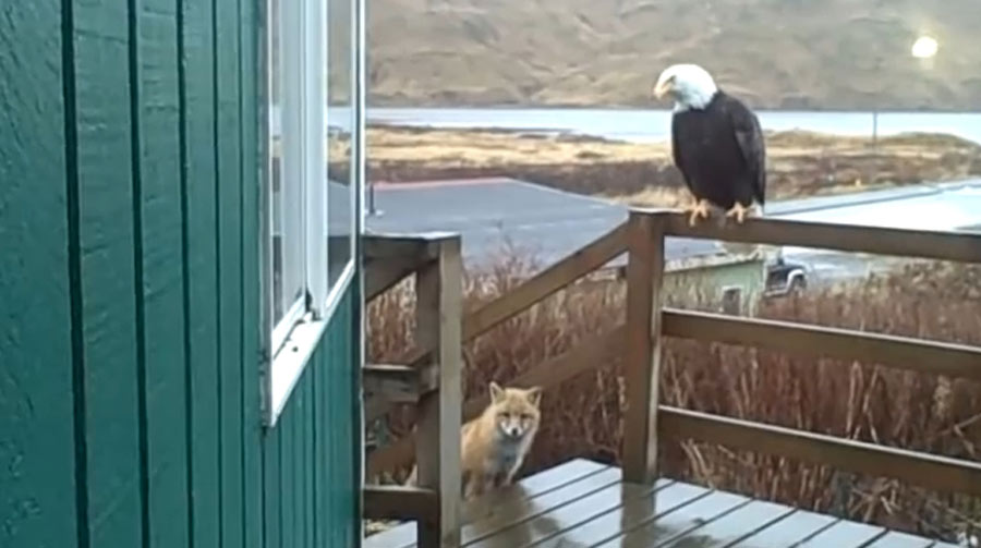 fox and eagle on deck