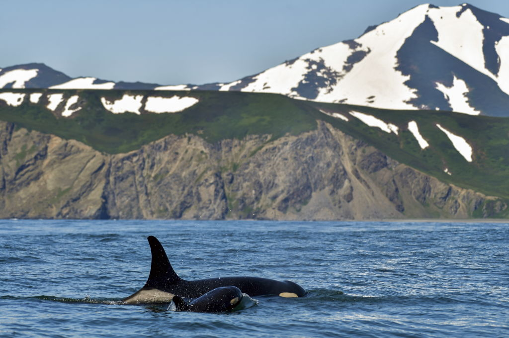 GettyImages-1004169276 An orca in Avacha Bay off Kamchatka Peninsula on Russia's Pacific coast