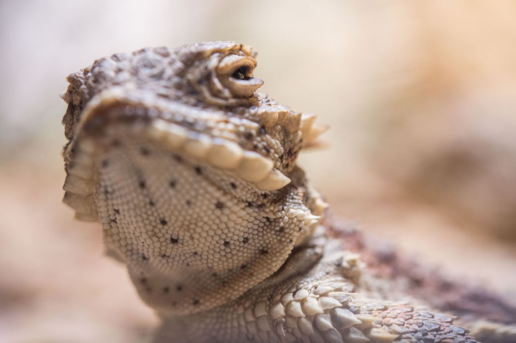 GettyImages-1038690852 A desert horned lizard in a terrarium at the Wilhelma zoological/botanical gardens in Stuttgart, Germany