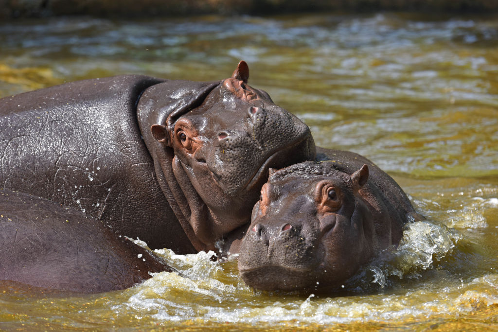 GettyImages-1136248020 Hippopotamuses seen playing in National Zoological Park
