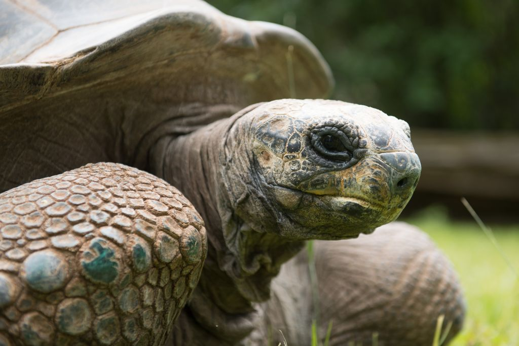 GettyImages-1147161903 An Aldabra giant tortoise stands on its way from its winter quarters in an outdoor enclosure in the zoo
