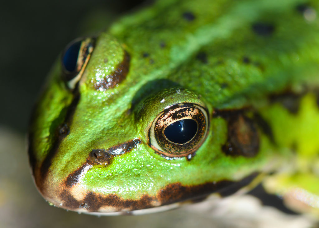 GettyImages-1149137141 A pond frog sits in the sun on a stone by a small pond.
