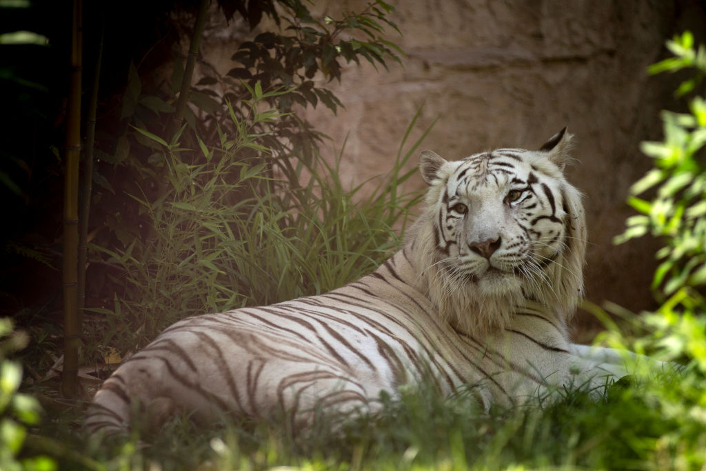 GettyImages-1151854101 Siberian white tiger is seen at the
