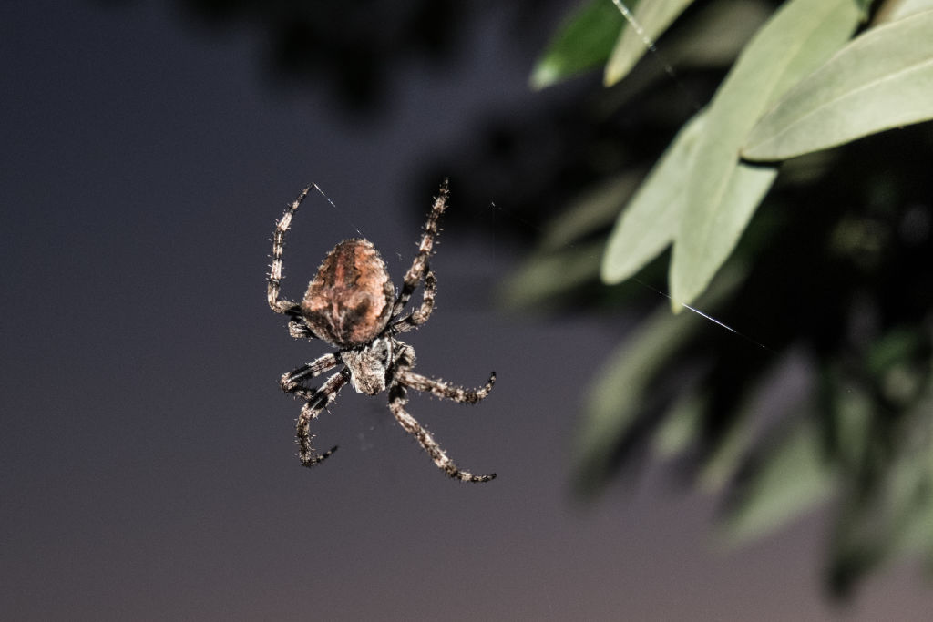 GettyImages-1153265289 Big spider on an Olive tree in Rovies on the island of Euboea