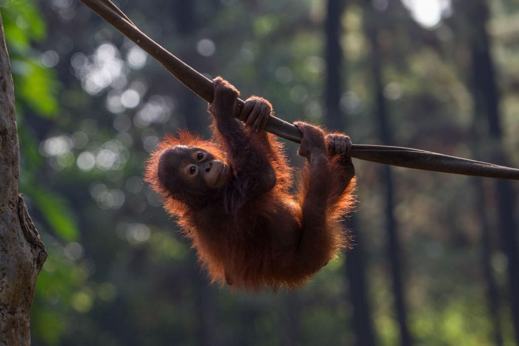 GettyImages-1153352186 baby orangutan seen playing in conservation, West Java, Indonesia