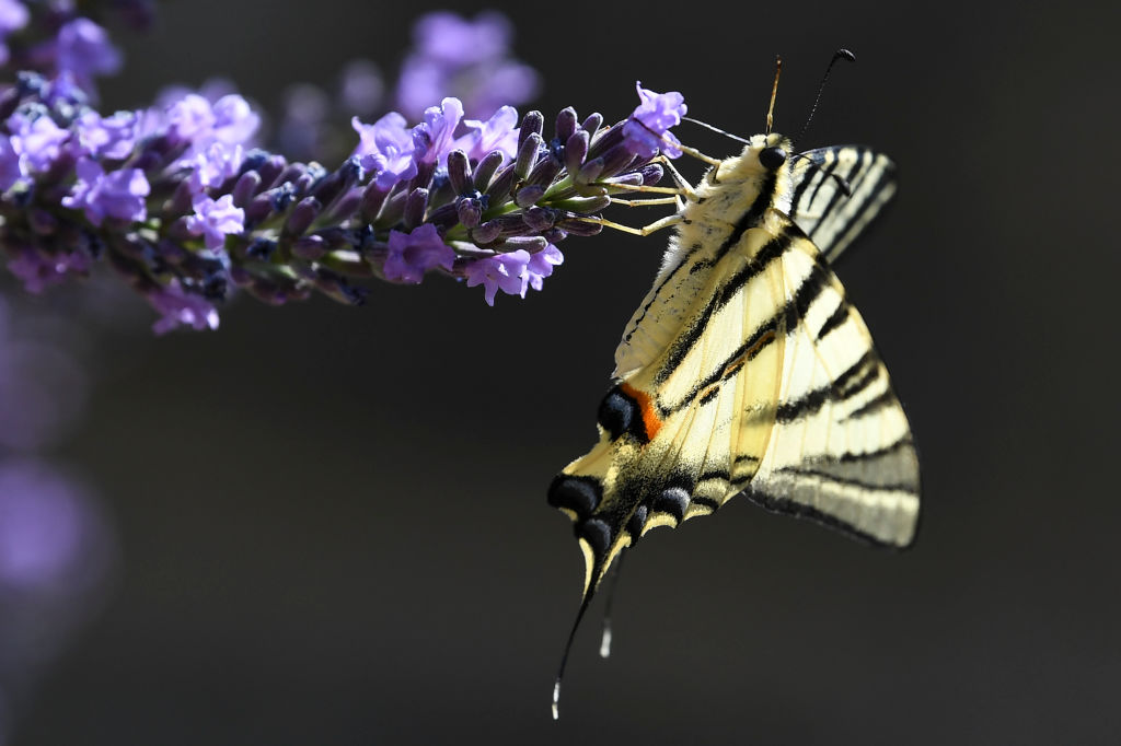 GettyImages-1154611837 A Machaon (Papilio machaon) butterfly gather pollen from a lavender flower
