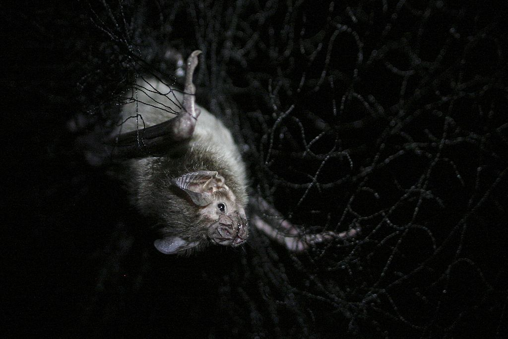 GettyImages-170486495 A bat, caught in a net for research. Oxapampa, Pasco, Peru