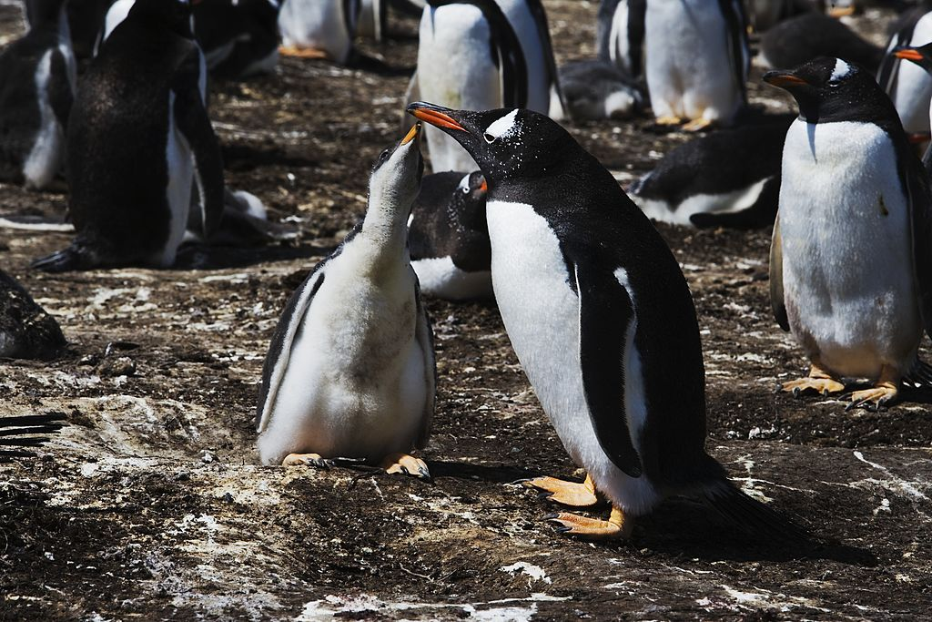 GettyImages-492757807 Gentoo penguin chick begging for food from one of its parents (Pygoscelis papua), Spheniscidae, east coast of Pebble Island