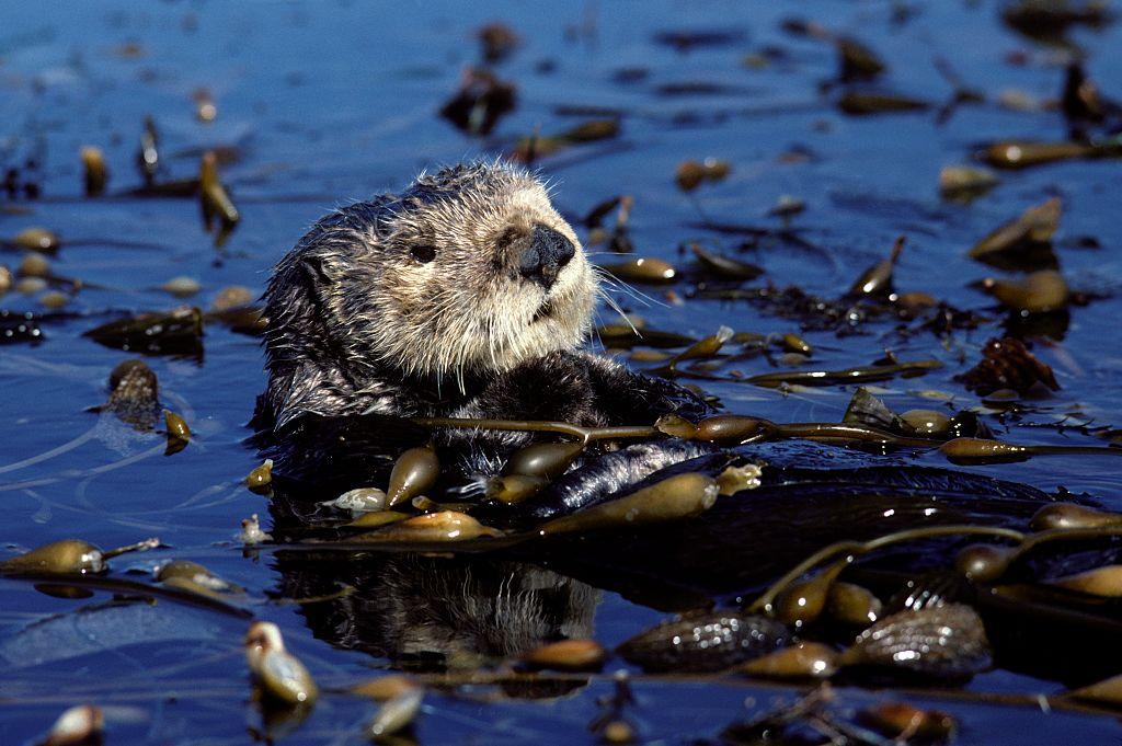 GettyImages-639203590 sea otter esting in kelp bed.Enhydra lutris.Monterey Bay, California