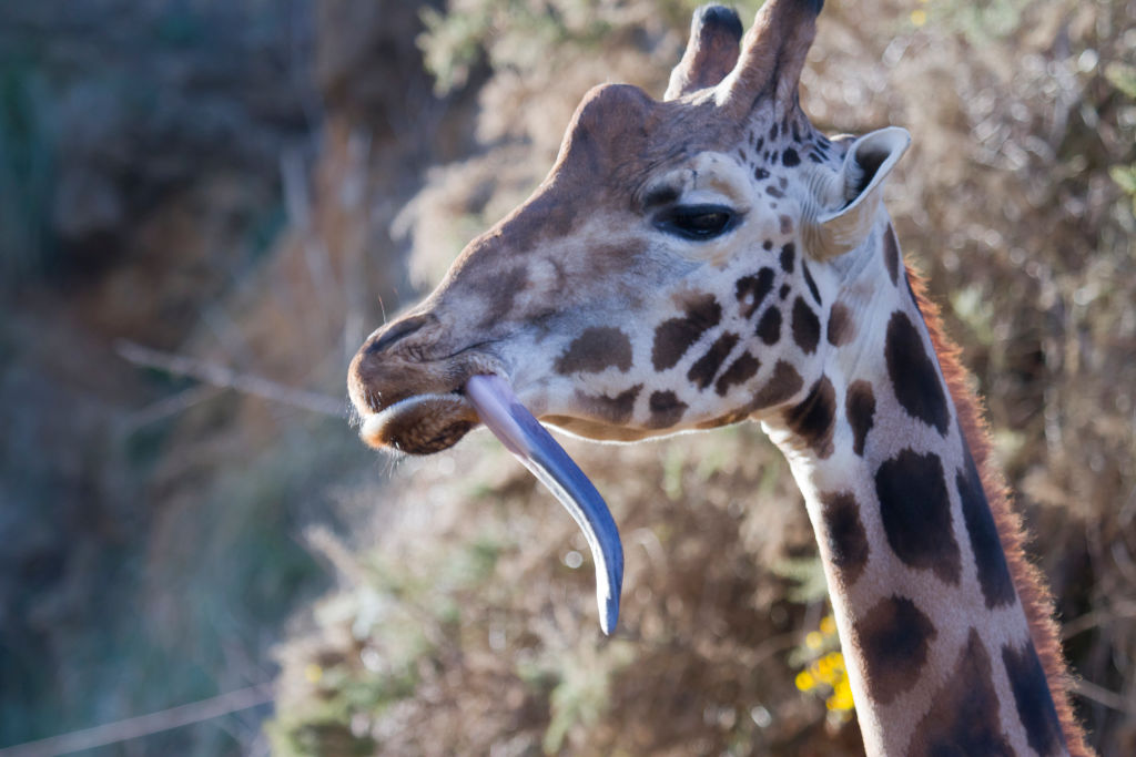 GettyImages-687980954 giraffe sticking its tongue out
