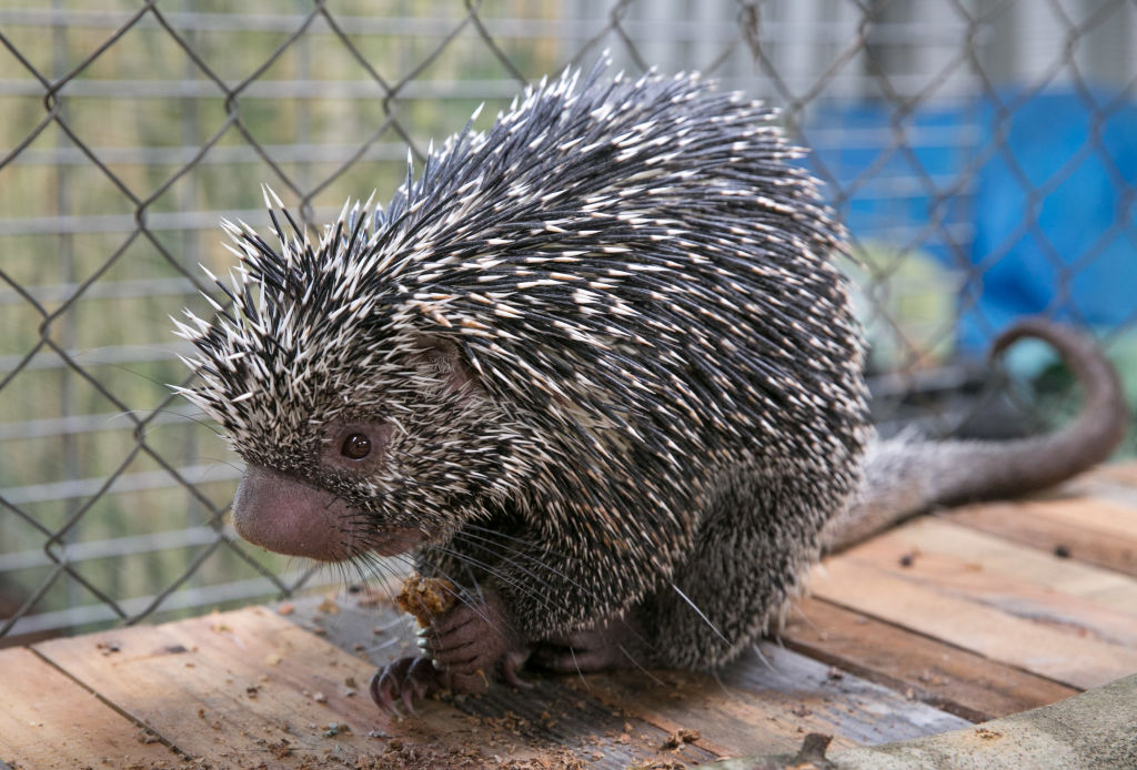 GettyImages-959712798 A baby porcupine is viewed at an exotic animal and wildlife rescue center