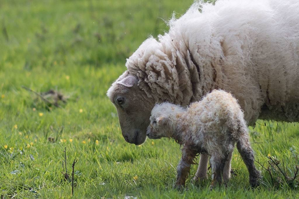A picture taken in Lavau-sur-Loire, western France, on March 28, 2020, shows a ewe with her newborn lamb.