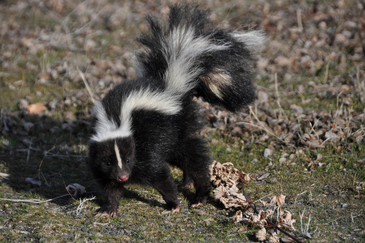 neighbor-fed-skunks