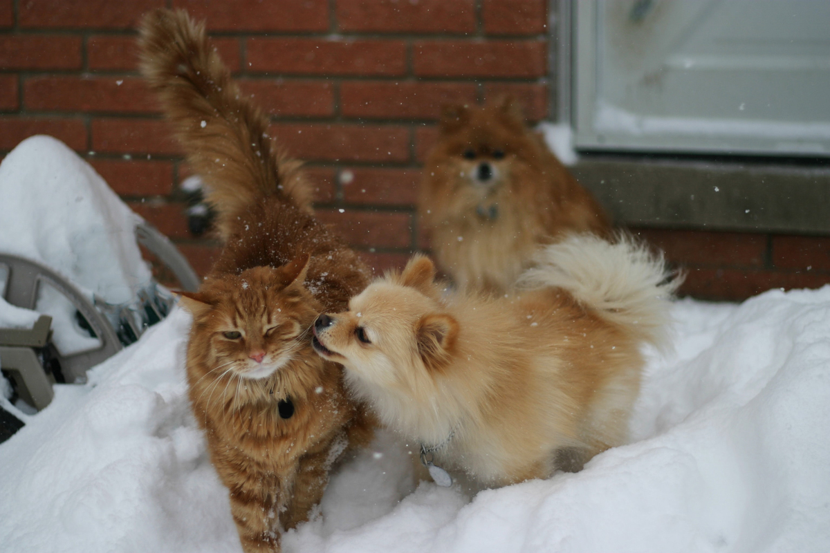 pomeranians-neighbor