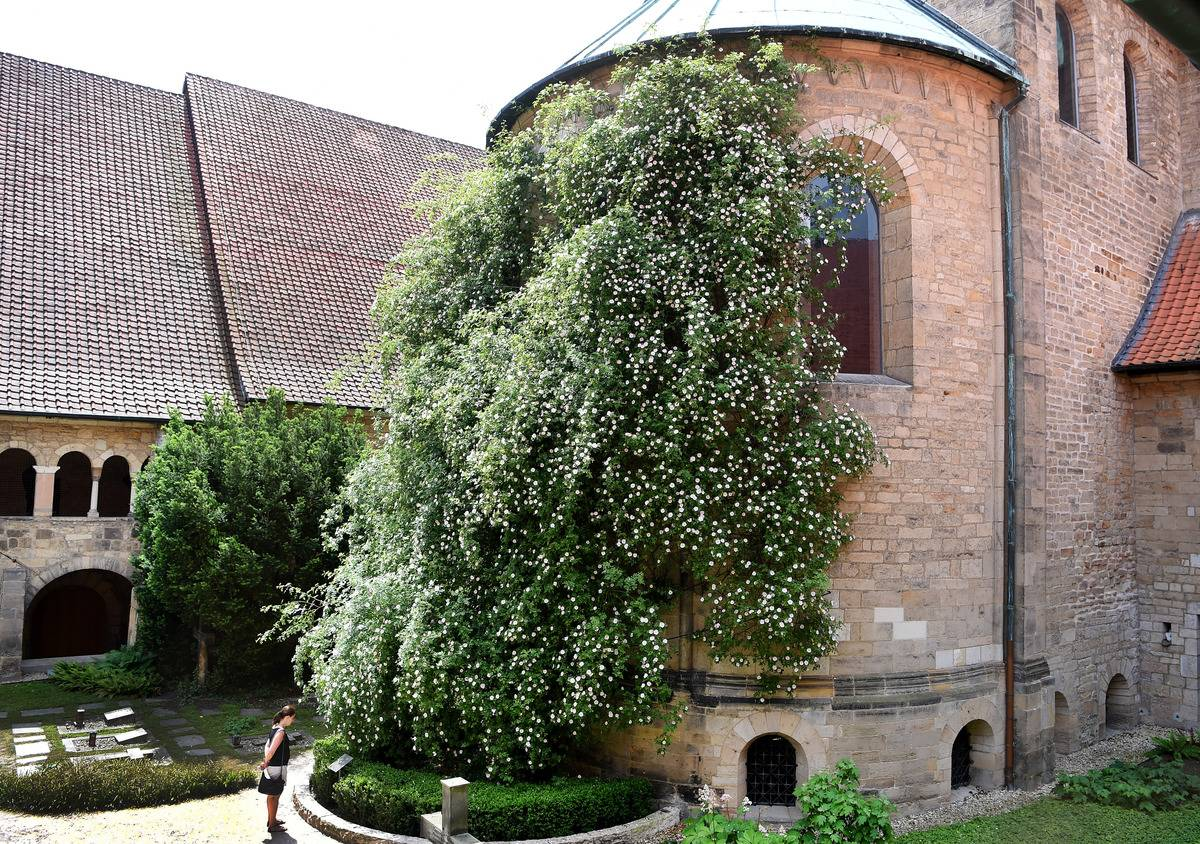 The Oldest Rose Bush Is 1,000 Years Old