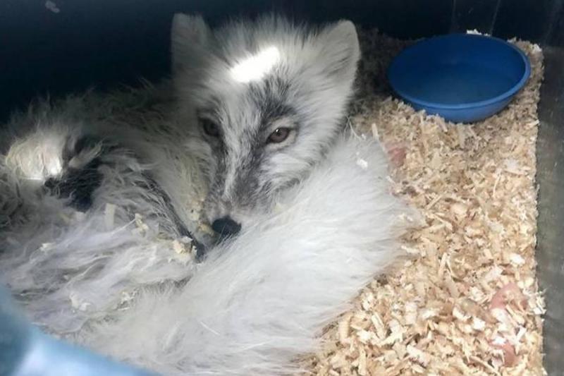 arctic-fox-woken-by-noise-86618