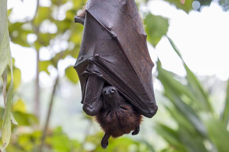 A large flying fox sleeps while hanging from a tree in Bali.