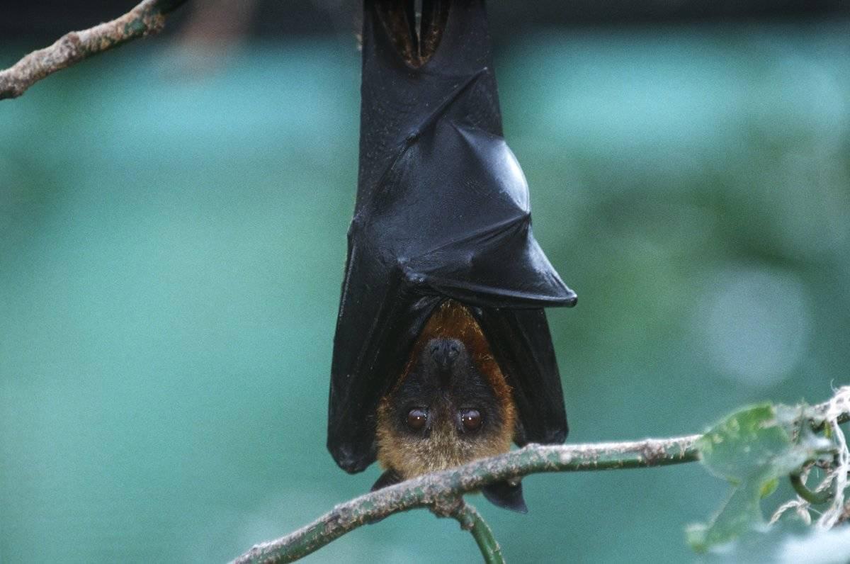 A bat hangs from a branch.