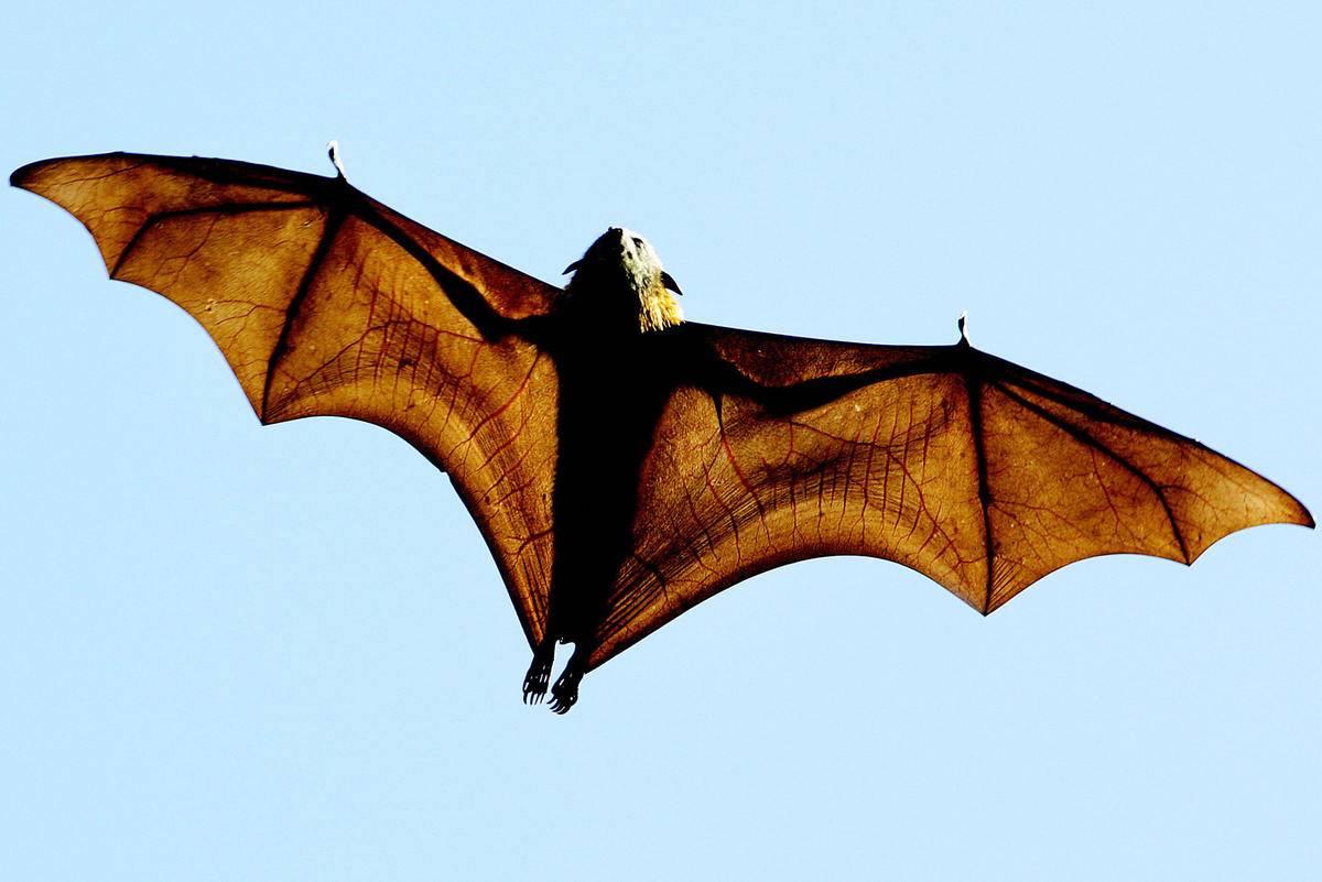 A grey-headed Flying-fox soars through the sky.