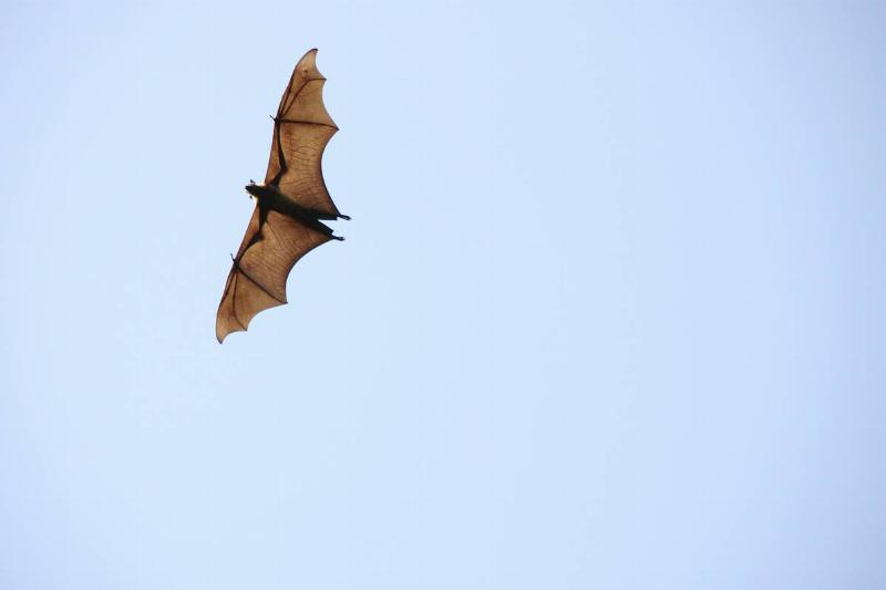 A flying fox soars in the sky alone.