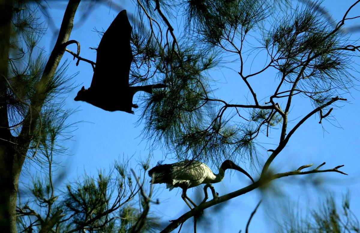 A flying fox flies past a crane that stands on a tree.