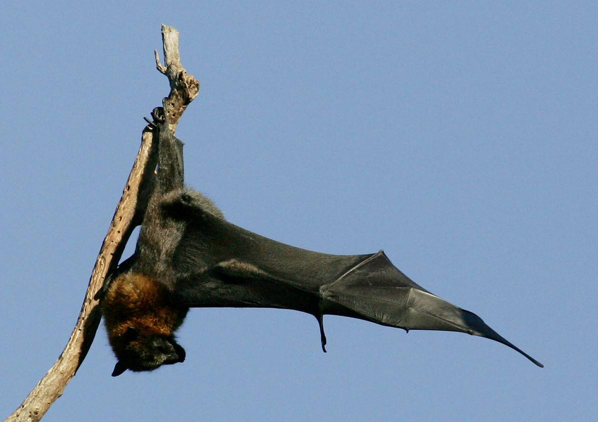 A grey-headed flying fox stretches its wings while hanging on a branch.