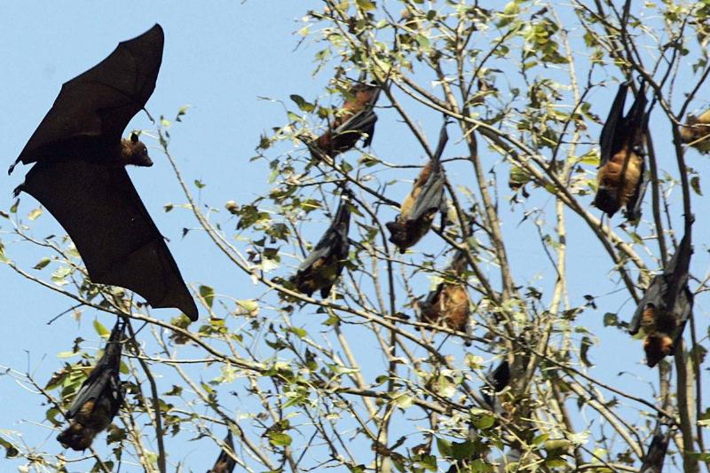 Several flying foxes hand upside-down in a tree.