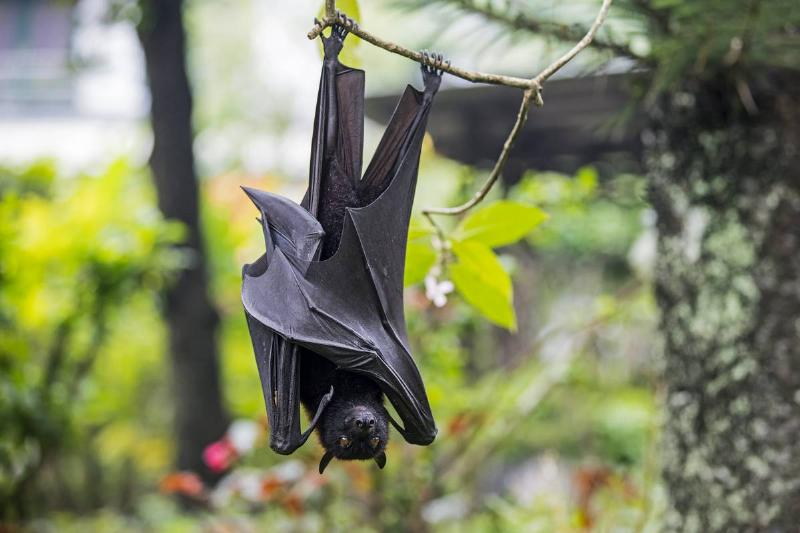 A large flying fox hangs upside-down from a tree.