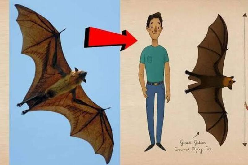 A diagram shows how big flying foxes really are.