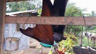 A flying fox yawns and stretches while hanging from a building.