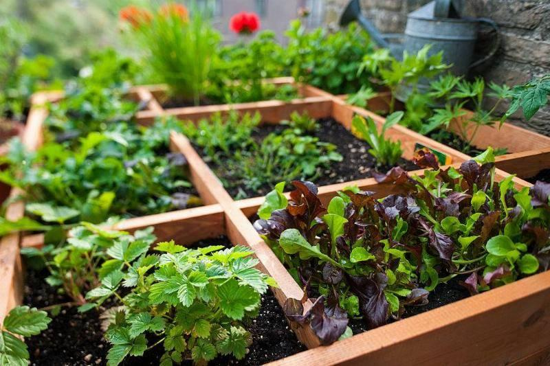 Use Herbs To Deter Mosquitos