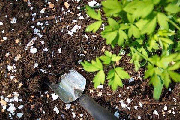 eggshells-garden-pests-81482