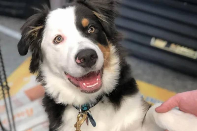 A five-month-old Australian shepherd greets a photographer.