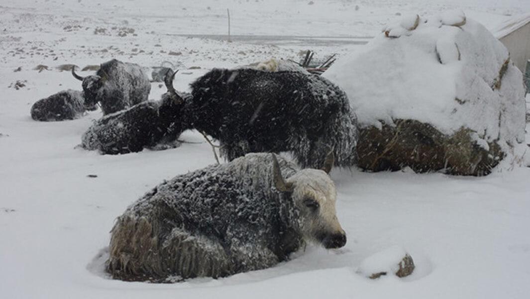 """Tibet's """"Worst Snowstorm"""".jpg"""