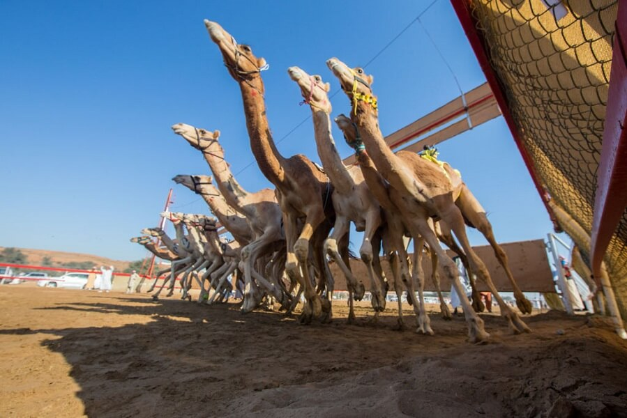 Camel Racing is a popular sport in the desert.