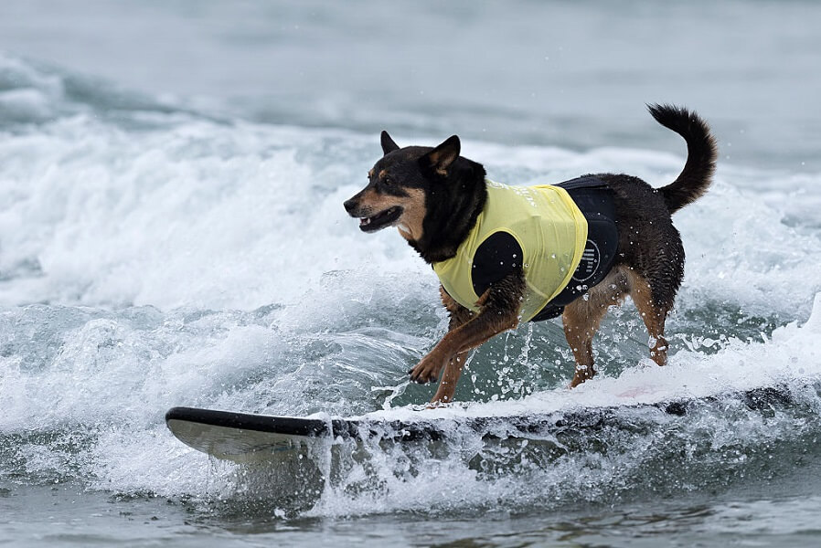 Dog surfing proves you can teach an old dog new tricks