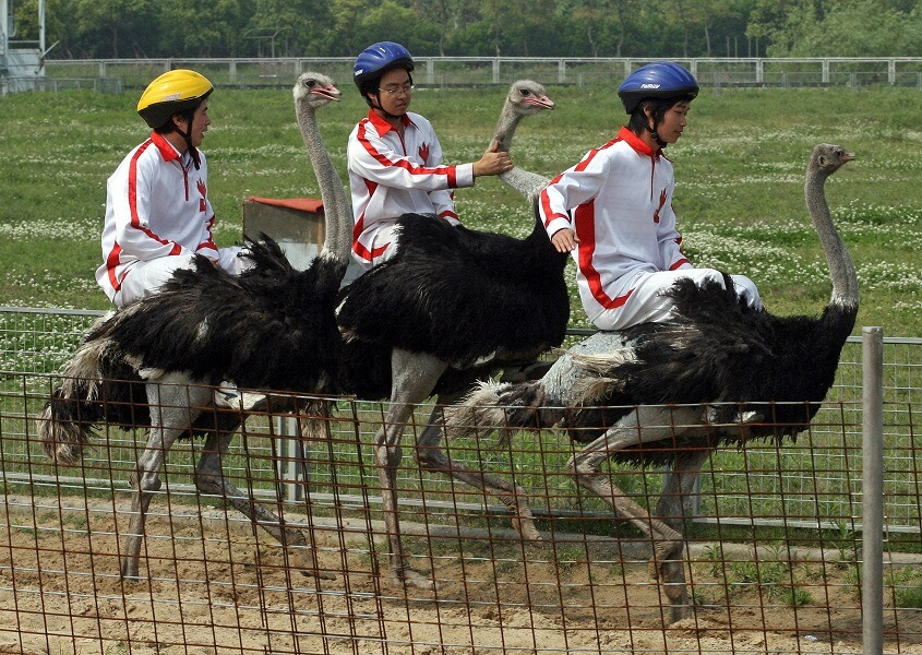 Ostrich Racing is popular is Asia
